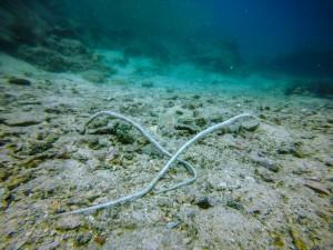 Bentstick pipefish